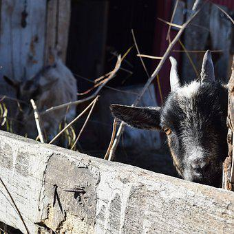 Peek-a-boo, Goat, Pygmy, Baby, Livestock, Domesticated