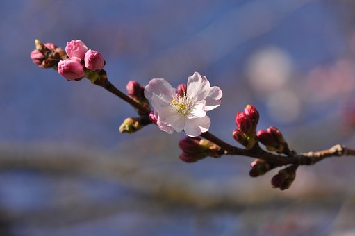 Prunus, Blossom, Tree, Pink, Bloom, Branch, Vegetable