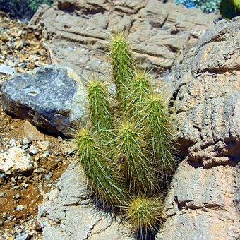 Hedgehog Cactus, Cactus, Plant, Desert, Garden, Cacti