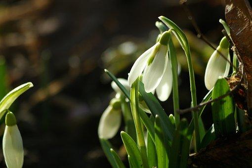 Snowdrops, Plants, Flower, White, Spring, Nature