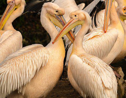 Pelicans, Waterfowl, Plumage, Bill, Bird