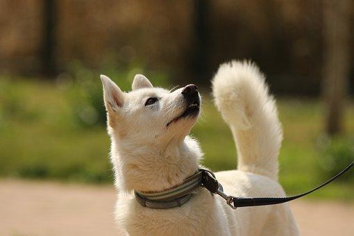 Dog, Breed, Siberian Husky, Portrait, Domestic