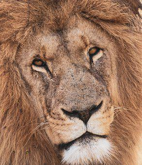 Lion, Portrait, Predator, Africa, Big Cat, Carnivores