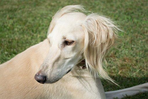 Saluki, Persian Greyhound, Dog, Pet, Portrait, White