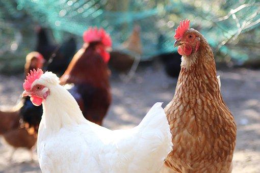 Chicken, Chickens, Poultry, Bird, Hahn, Farm, Cattle