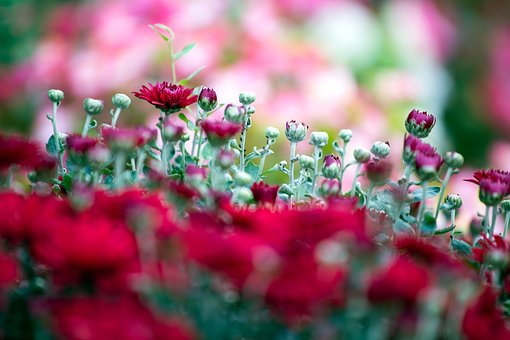 Red Chrysanthemums, Flower, Red, Nature, Color