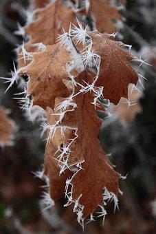 Ripe, Crystals, Winter, Oak Leaves, Eiskristalle