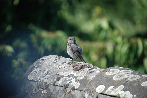 Bird, Robin, Garden, Songbird, Nature, Animal