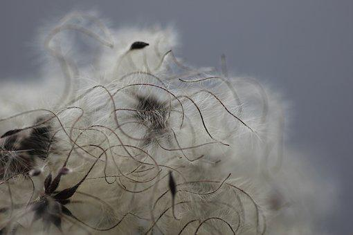 Clematis, Seed Head, Seeds, Texture, Fluffy, Seed, Head