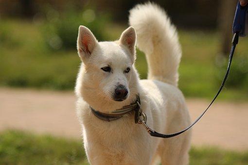 Dog, Breed, Siberian Husky, White, Eyes, Domestic
