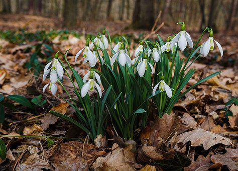 Forest, Snowdrop, Walk In The Forest, Spring, Nature