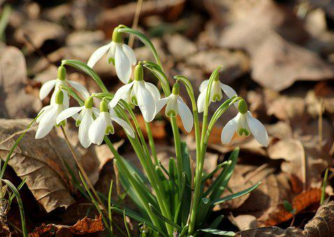 Snowdrop, Spring Flowers, Early Spring, Spring, Flowers
