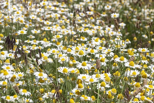 Daisy, Field, Flowers, Spring, Meadow, Nature, Summer