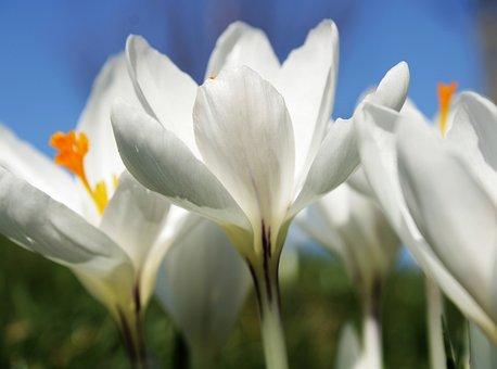 Crocus, White, Flower, Spring, Nature, Spring Flower