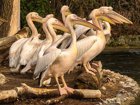 Pelicans, Swimming Birds, Bill, Plumage, Poultry