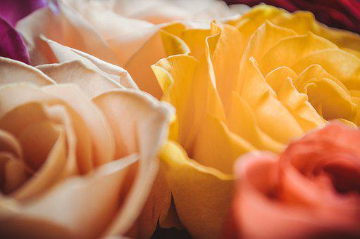Delicate Roses, Petals Close-up, The Buds, Bud, Petal