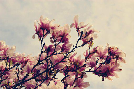 Magnolia, Flowers, Tree, Spring, Bloom, Branch, Bud