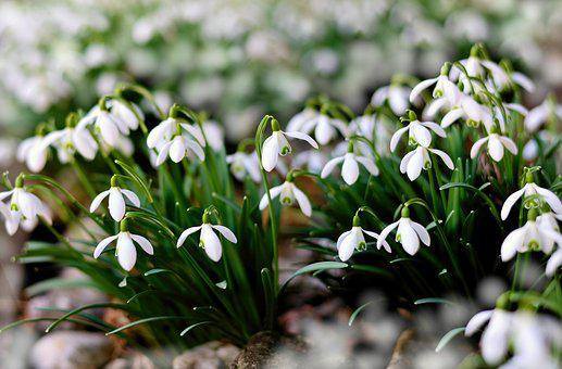 Snowdrop, Early Bloomer, Winter, White, Signs Of Spring