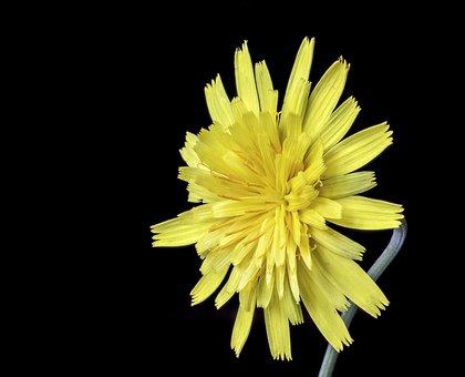 Cat's-ear, Wildflower, Botany, Plant, Flora, Catsear