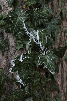Ivy Leaves, Ripe, Crystals, Winter, Eiskristalle, Frost