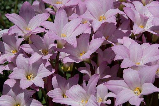 Rain Lilies, Zephyranthes Grandiflora, Pink, Bulb
