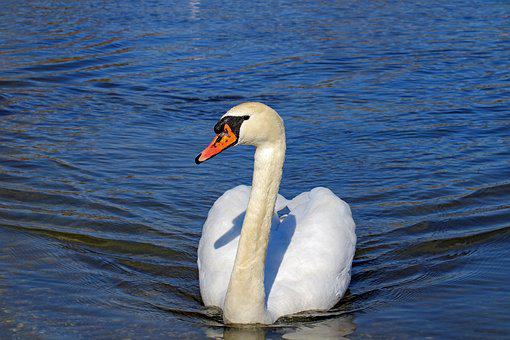 Swan, Animal World, Water Bird, White, Pride, Water