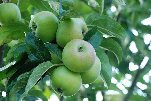 Apple, Fruit, Kernobstgewaechs, Green, Tree Fruit