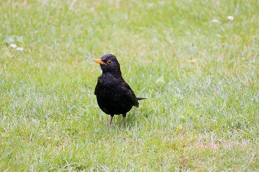 Blackbird, Bird, Animal, Nature, Black, Bill