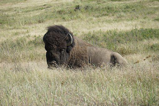 Bison, National Bison Refuge, Charlo Montana, Nature