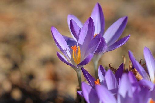 Crocus, Flower, Spring, Nature, Purple, Blossom, Bloom