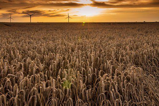 Wheat Field, Agriculture, Cereals, Field, Nature