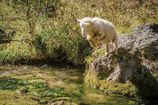 Sheep, Jump, Creek, Nature, Animal, Adventure, Wild