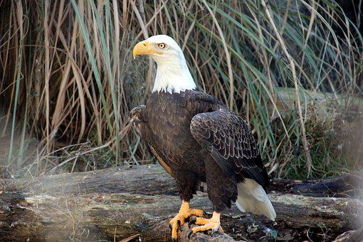 Bald Eagle, Raptor, Eagle, Bird, Nature, Animal, Bill
