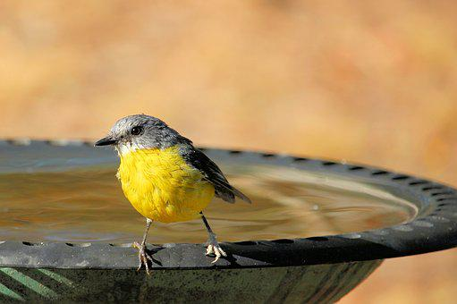 Eastern Yellow Robin, Eopsaltria Australis