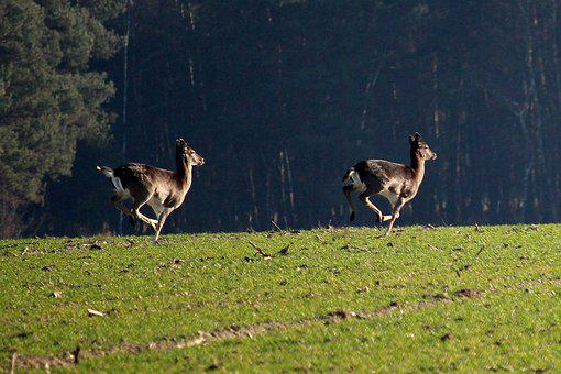 Fallow Deer, Jump, Arable, Forest Animal, Movement