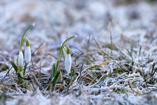 Snowdrops, Flower Bulbs, White, Flower, Retail, Tender