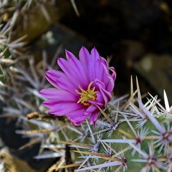 Flowering Fishhook Cactus, Cactus, Flower, Nature