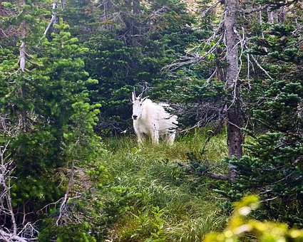 Mountain Goat, Alpine, Forest, Goat, Horns, Mountain
