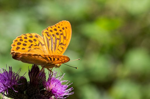 Butterfly Free, Insect, Animal, Butterfly, Fritillary