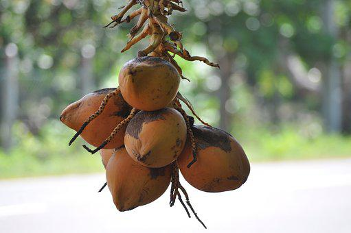 King Coconut, Coconut, Drinks, Fruits, Drink, Bali