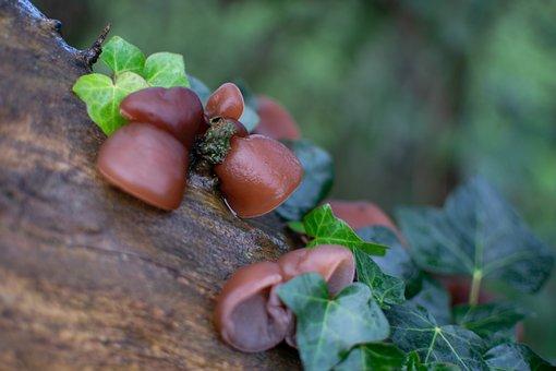 Fungi, Auricularia Auricula-judae, Jew's Ear, Wood Ear
