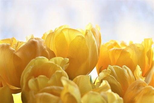 Tulips, Yellow, Flowers, Garden, Spring, Tulip, Flora