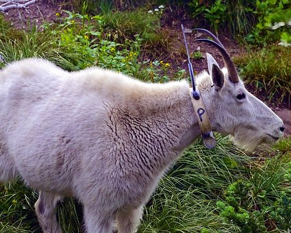 Radio Tagged Mountain Goat, Alpine, Nanny, Forest, Goat