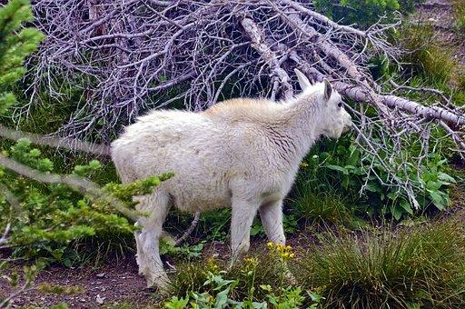 Mountain Goat Lamb, Alpine, Forest, Goat, Horns