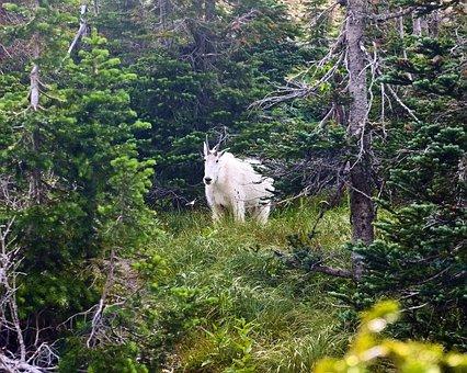 Mountain Goat, Alpine, Forest, Goat, Horns, Mountain