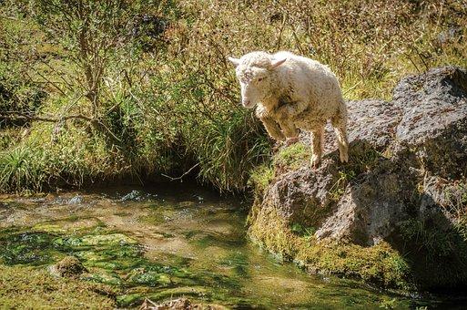 Sheep, Jump, Creek, Nature, Animal, Adventure, Wild