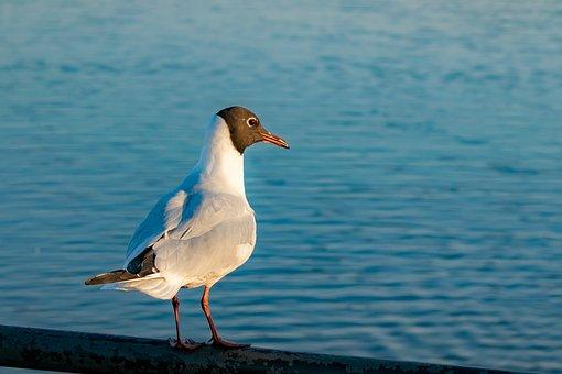 Black-headed Gull, Sea Gull, Lake, Hollingworth Lake