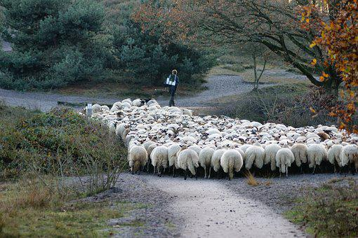 Shepherd, Sheep, Herd, Animals, Meadow, Wool, Cattle