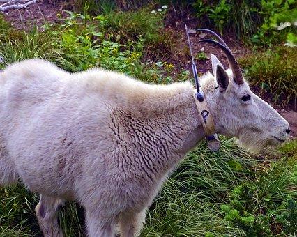 Radio Tagged Mountain Goat, Alpine, Nanny, Forest, Goat
