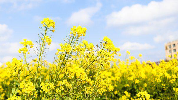 Canola, Oilseed Rape, Rape Blossoms, Flower, Grassland